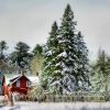 Winter Pines on the Farm