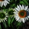 Early Bloom Daisy's