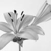 BW Lily