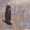Bald Eagle (Haliaeetus leucocephalus) in full wing extension