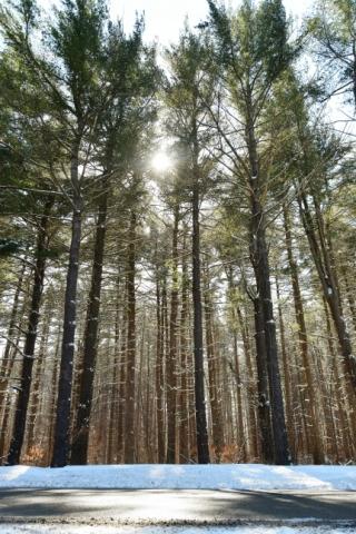 Converging Pines