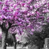 Street cherry tree