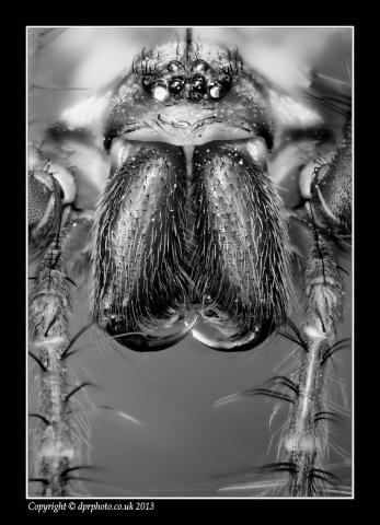 House spider closeup