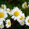 """""""Daisy Delite"""" ©C.R.Hill"""