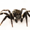 Twin Flagged Jumping Spider