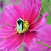 Busy bee on cosmos flower