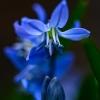 Blue Bells of Spring.