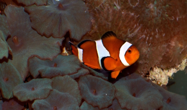 My clownfish and corals