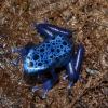 My blue dart frog