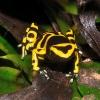 my bumble bee dart frog