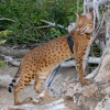 Taser - The Savannah Cat