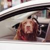 Doggie Ride
