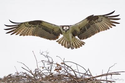 Osprey landing in nest - Viera Fl (1 of 1).jpg