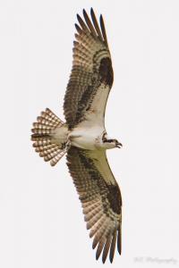 Osprey Vertical (1 of 1).jpg