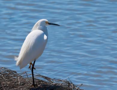 resting egret-1.jpg