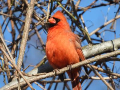 Cardinal8.jpg
