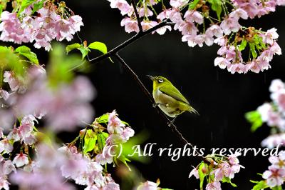 Sam Leung-Japanese  White-eye (Zosterops japonicus), also known as the mejiro -メジ� .jpg