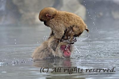 Sam Leung-Snow Monkeys.jpg