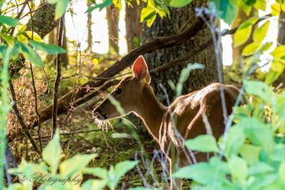 Deer-1-2.jpg