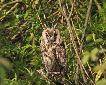 Long-eared Owl.jpg