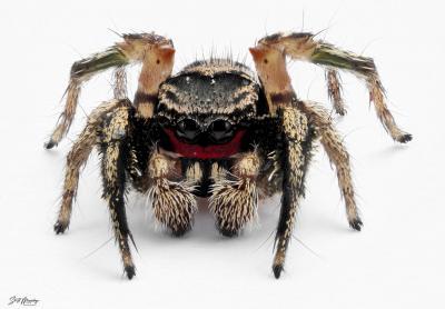 Red Faced Jumping Spider.jpg