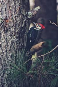 Woodpecker--2.jpg