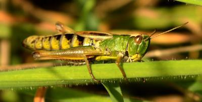Grasshopper1.jpg