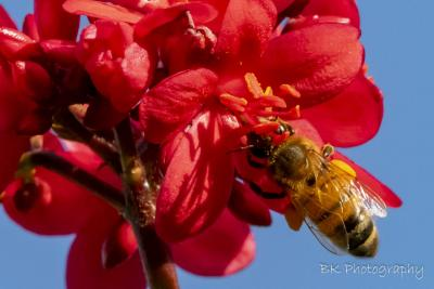bee pollen red flower (1 of 1).jpg